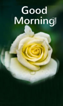 Good-morning-images-with-white-rose